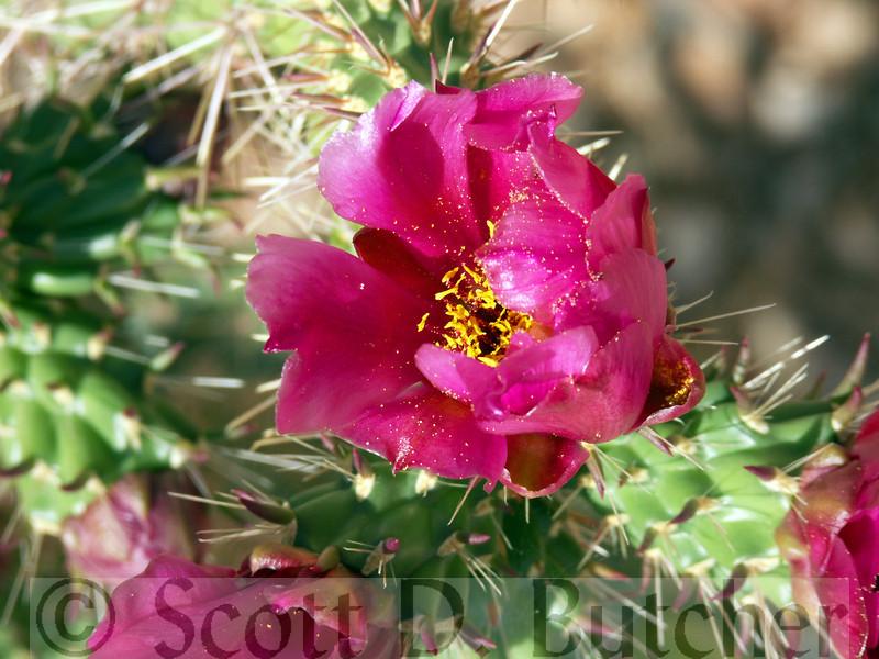 Cholla Blossom