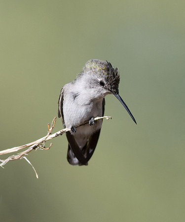 Female Anna's Hummingbird, October