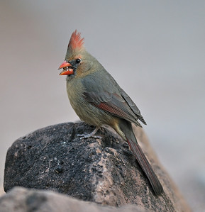 Female Cardinal, March