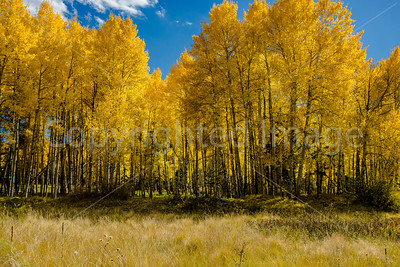 Golden trees on Hart Prarie
