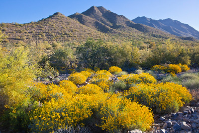 Brittlebush light up the desert