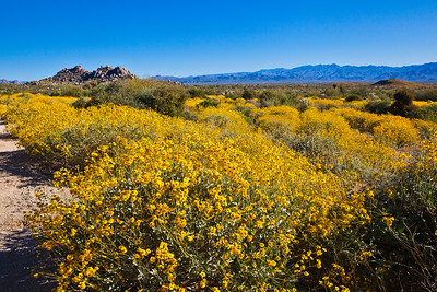 Brittlebush along the trail