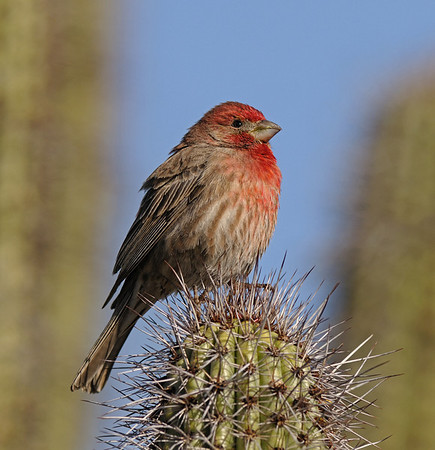House Finch, March