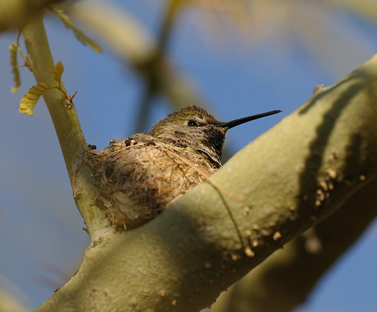 Female nesting Anna's Hummingbird, March
