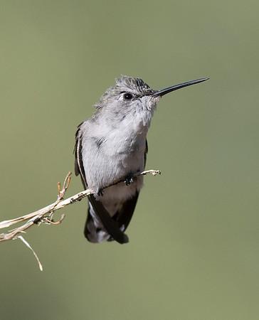 Female Anna's Hummingbird, October