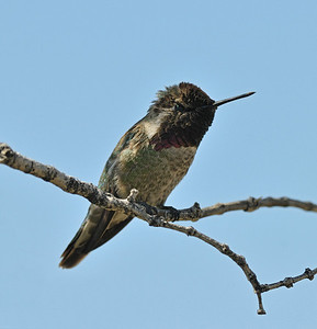 Male Anna's Hummingbird, March
