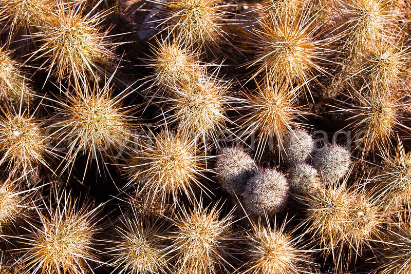 Hedgehog and Pincushion cactus