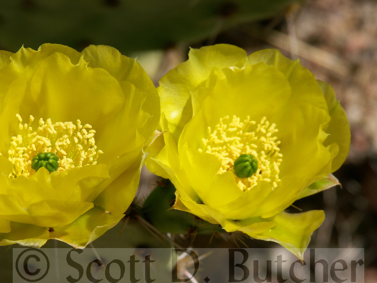 Blossom on a Prickly Pear Cactus