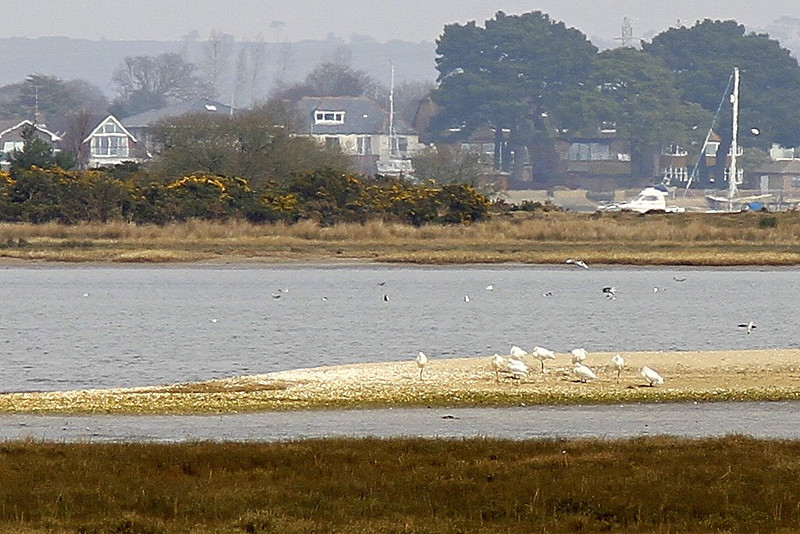 Spoonbills feeding on the distant sandbars