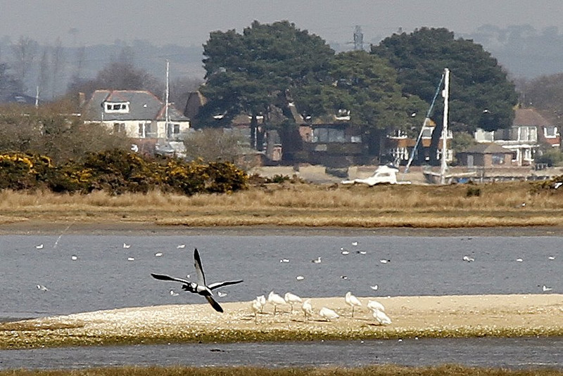 Spoonbills and the rare 'X' Wing Duck!