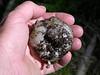 Sarcosphaera crassa or violet star cup
