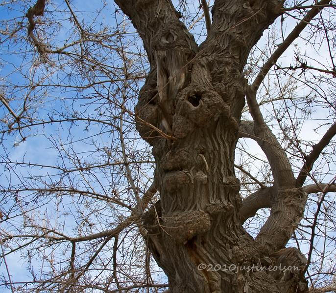 Face in the tree Prescott.