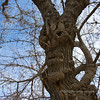 Face in the tree Prescott.
