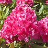 Red Rhododendrons in full bloom on May 17, 2013