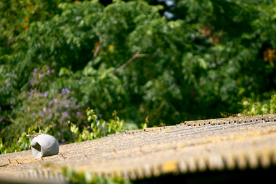 Sunbathing Lizard on a rooftop basketball