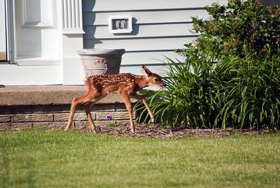 Baby Deer 2 060211