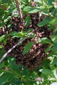 Bee Swarm 02 051912