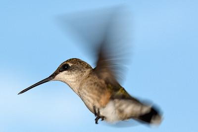 Hummingbird 090509 4