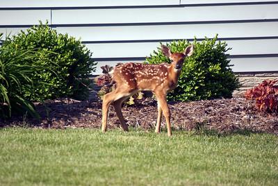 Baby Deer 3 060211