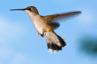 Hummingbird 090509 2