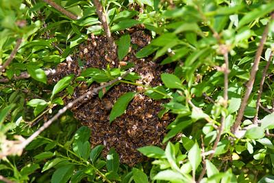 Bee Swarm 01 051912