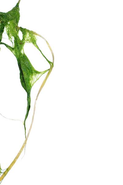 """""""Seaweed""""<br /> Gustavus, Alaska"""