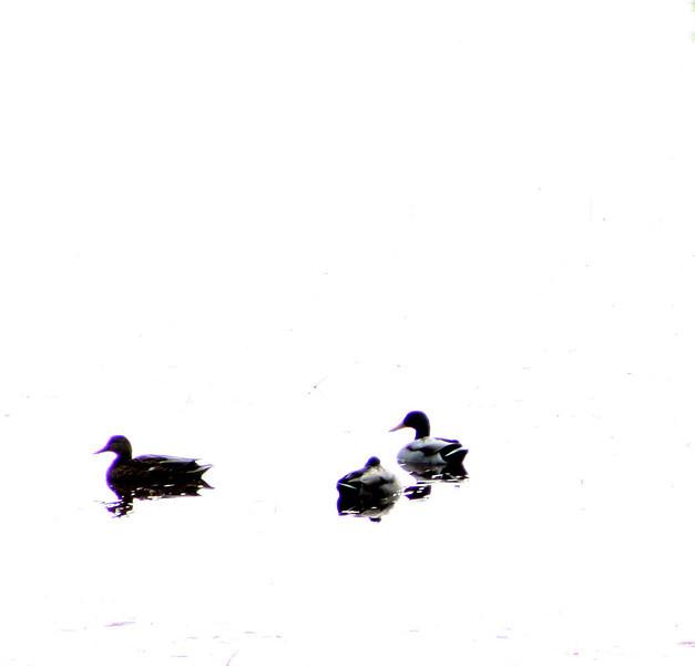 """""""Tres Ducks""""<br /> Juneau, Alaska"""