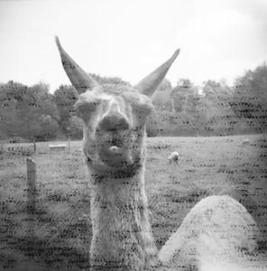 Gaspereau Llama (Holga, 2011)