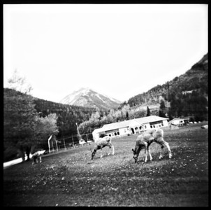 Waterton Lakes, Deer (Holga, 2010)
