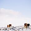 Icelandic Horses (2016)