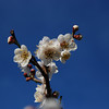 Ume season,spring,Japan
