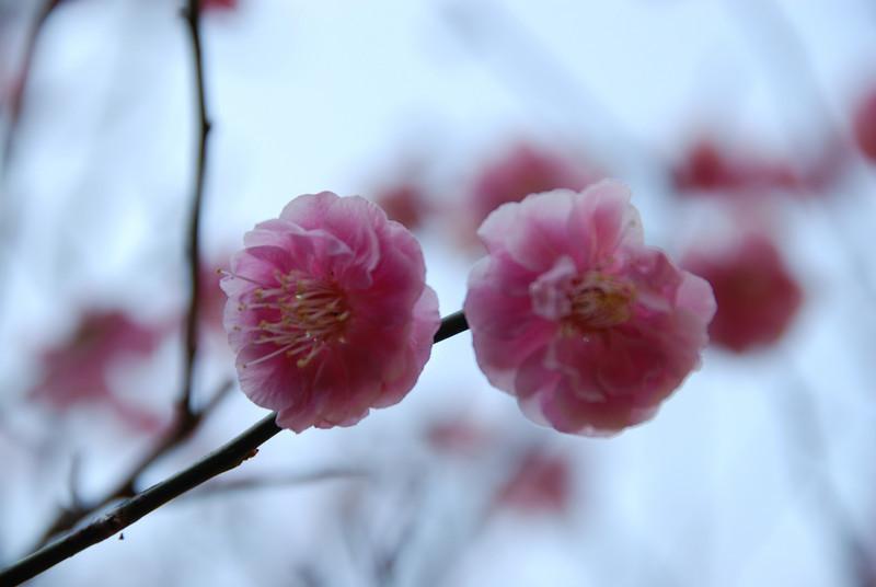 Ume flower,Narita,Japan