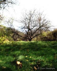 Copola's orchard