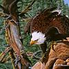 American Eagle<br /> Acrylic - Masonite