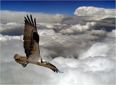 Flying Osprey (1)