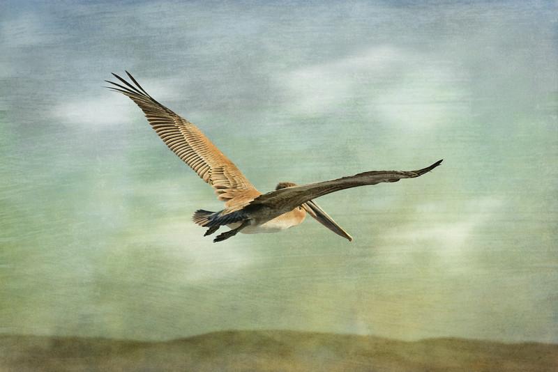 """""""Painted Pelican"""""""