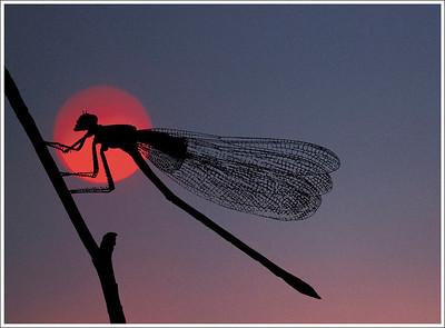 Illuminated Dragonfly