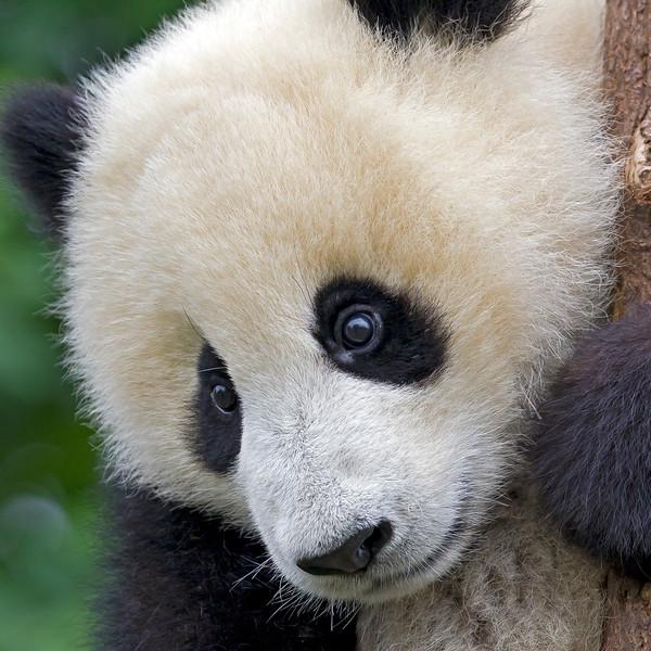 Giant panda, Sichuan China