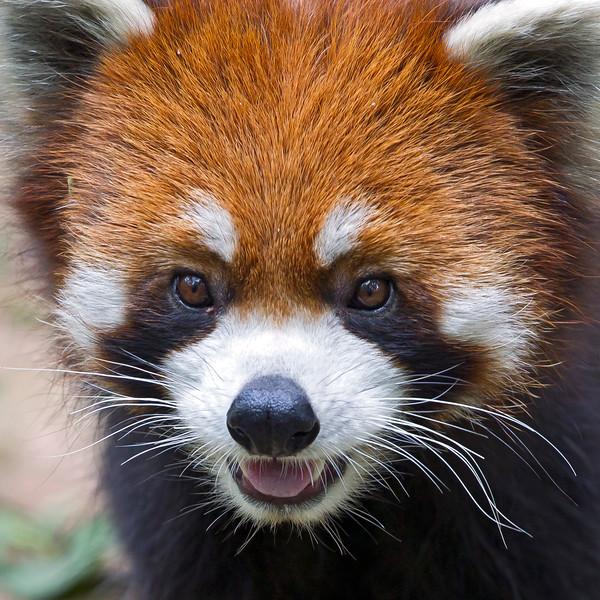 Red panda, Sichuan China