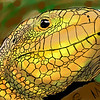 iPad drawing of blue tongued skink.
