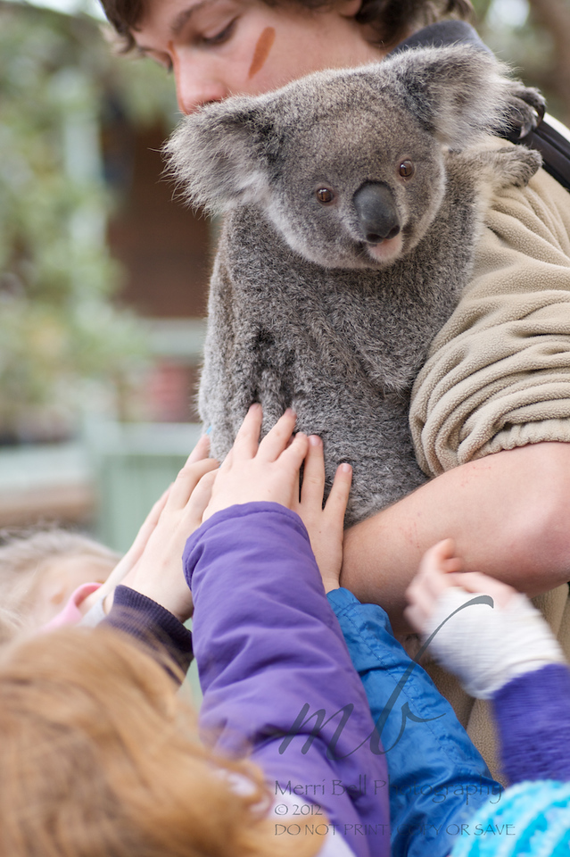 Young koala being inundated by pats