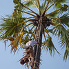 Climbing the palm tree for the coconuts.