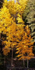 Aspen trees in Cloudcroft, New Mexico
