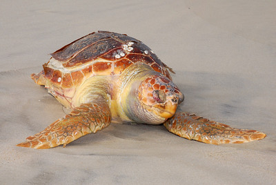 Deceased Loggerhead......beautiful colors even dead.