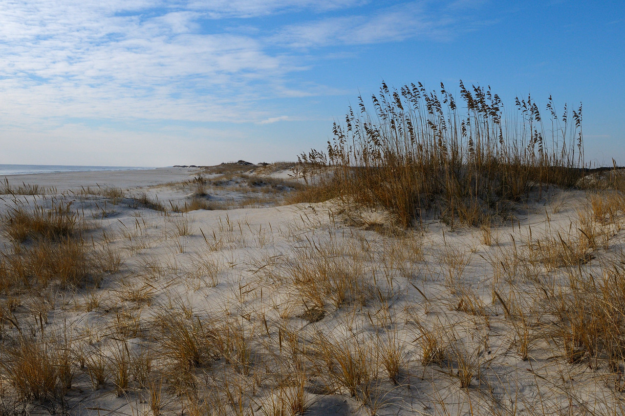 A patch of Sea Oats