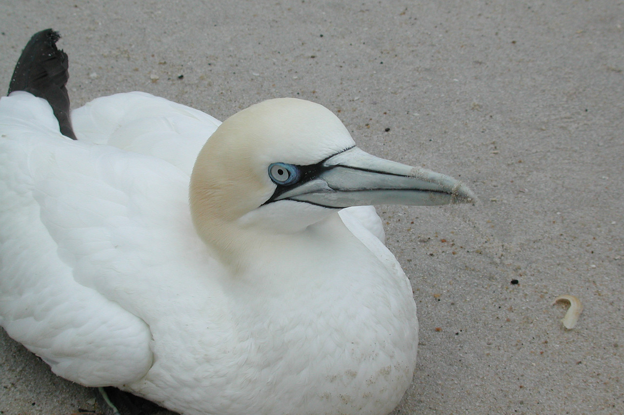 Injured Gannet