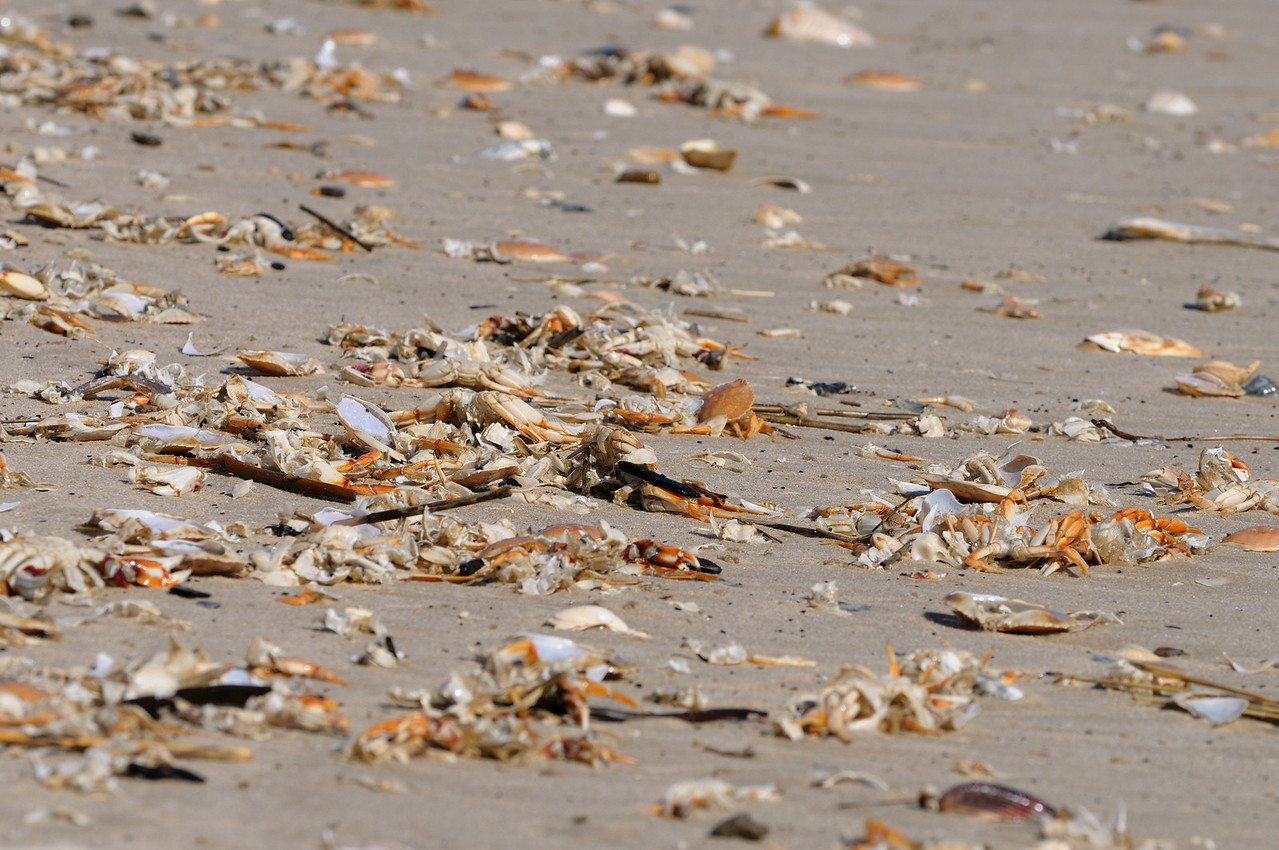 Crab molt or crab kill, not sure which but all 12 miles of OSV beach were covered today, January 30 2012.