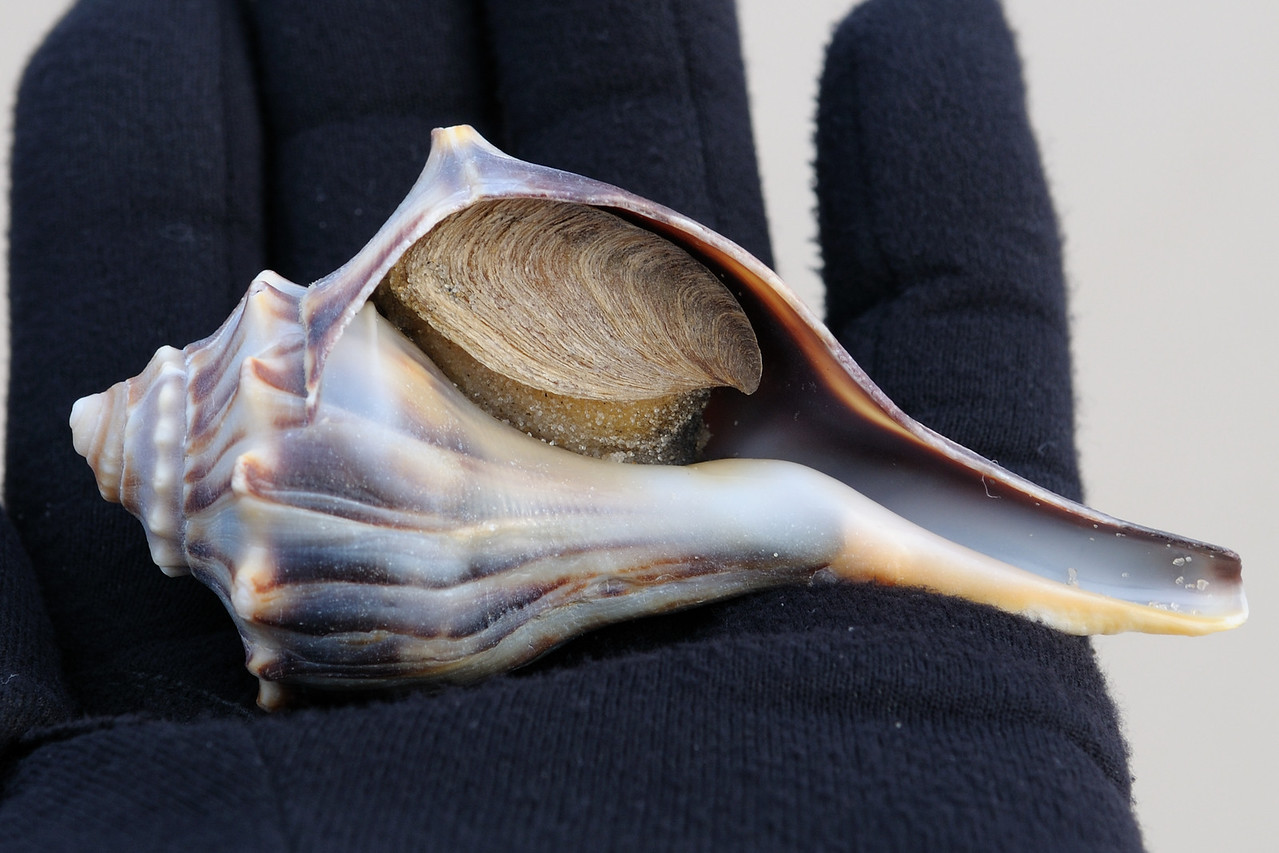 Whelk, commonly referred to around her as a Conch.
