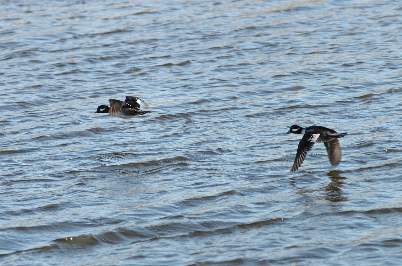 Buffleheads are small and fast, tough to get a good shot in the air.