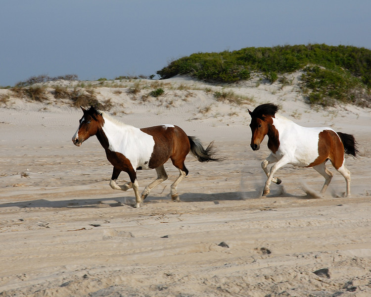Wild Assateague horses.